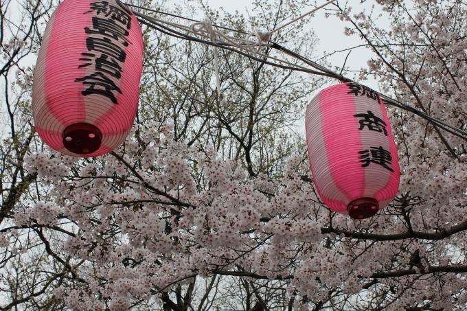 綱島公園桜まつり2019の桜