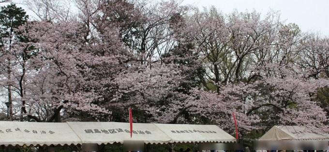 綱島桜まつり2016年