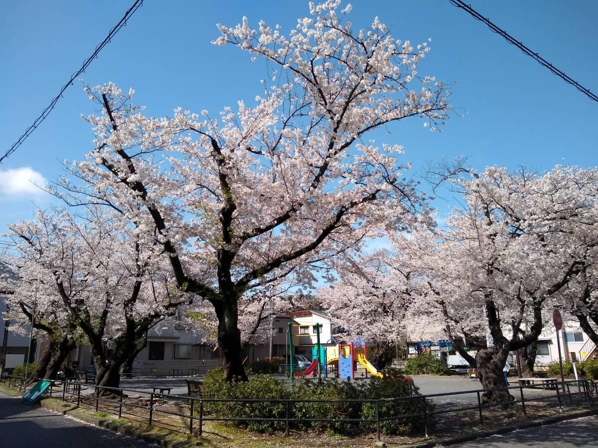 綱島西6丁目公園の桜20210329