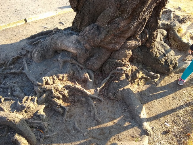 綱島西六丁目公園の桜