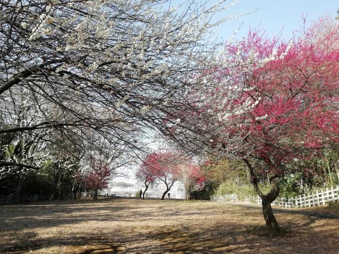 太尾見晴らしの丘公園の梅