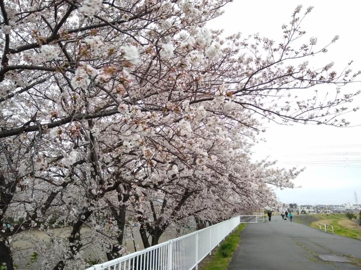 親和会子供の遊び場の桜20200328