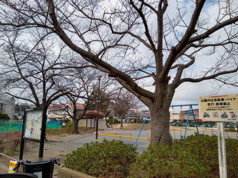 綱島東2丁目の桜