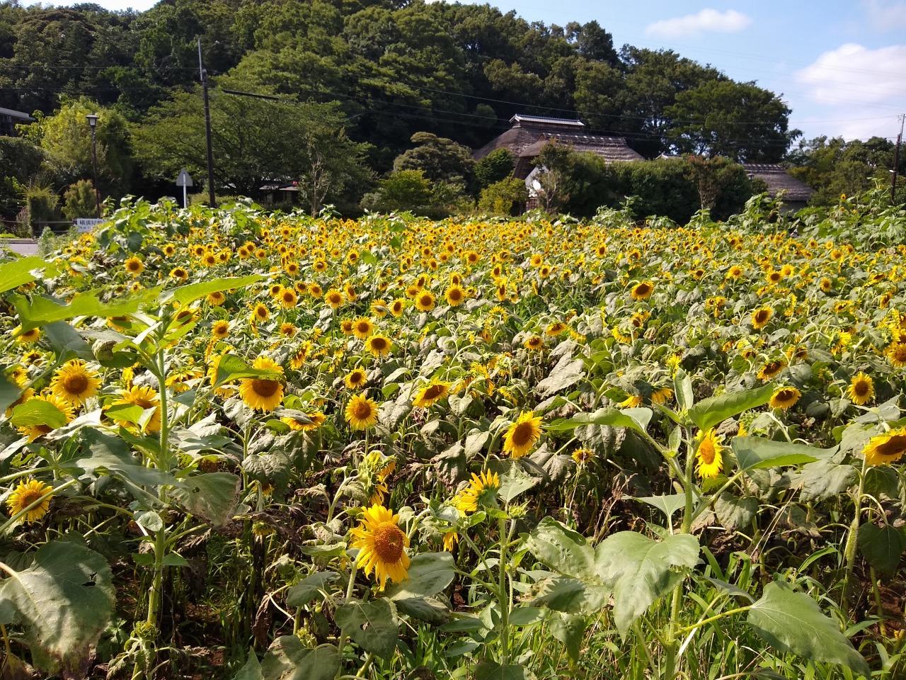 横溝屋敷ひまわり畑