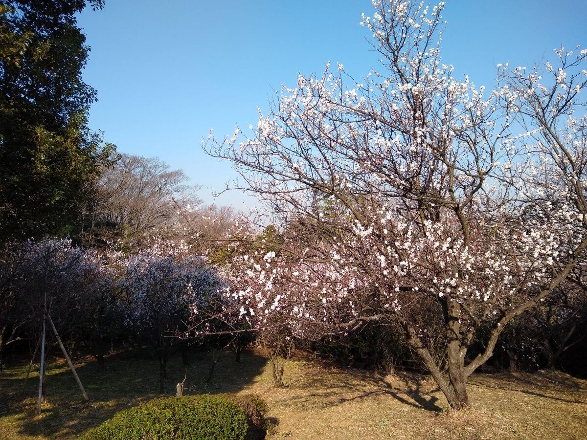 綱島市民の森桃の里広場2021年2月22日