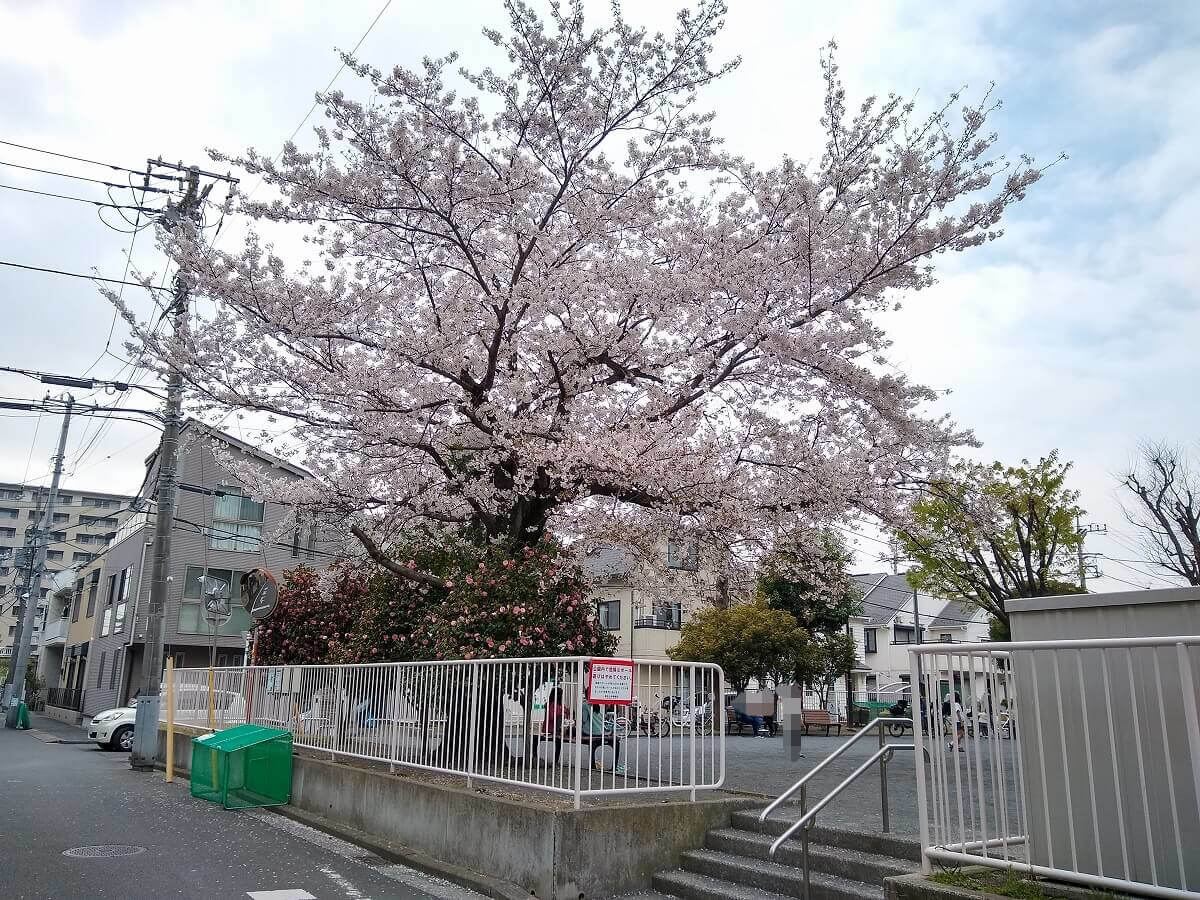 綱島上町中央公園の桜