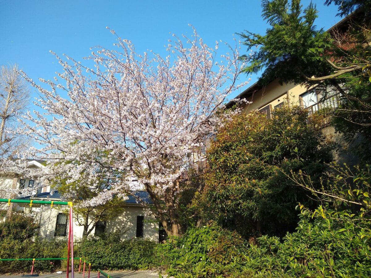 綱島西1丁目公園の桜