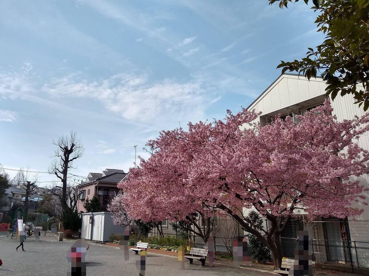 大曽根第二公園の河津桜