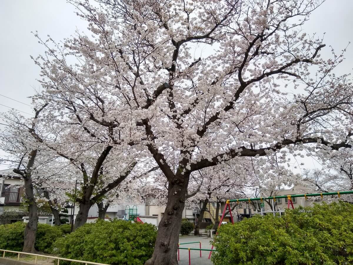大曽根北公園の桜