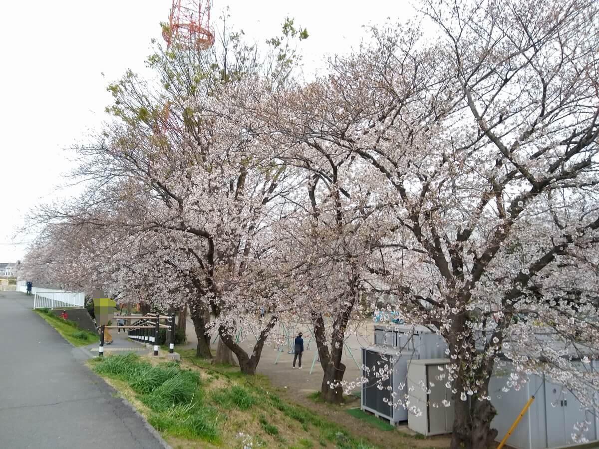 親和会子供の遊び場の桜