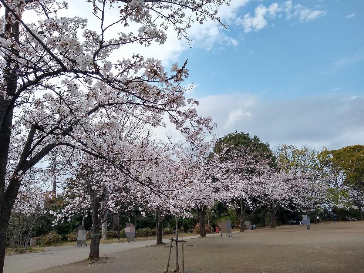 綱島公園の桜